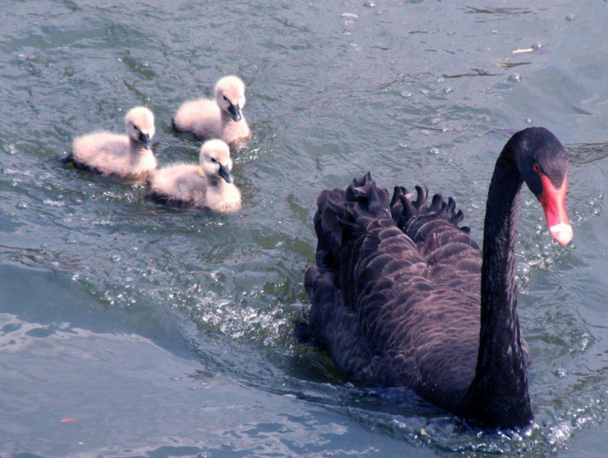 El Cisne negro de Nassim Taleb fácilmente explicado